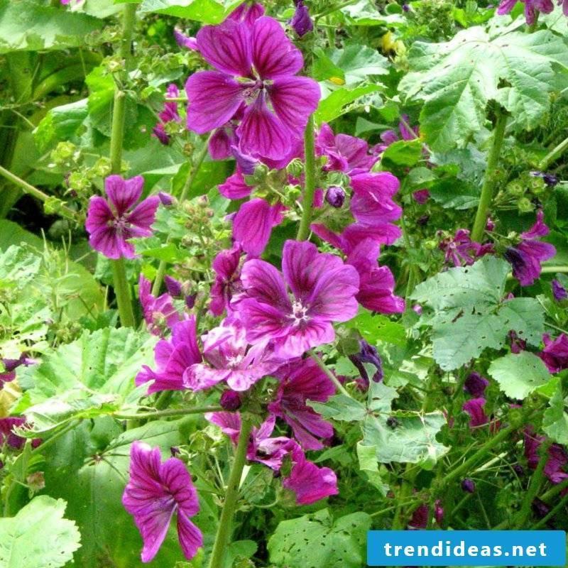 Blooming mallow houseplants