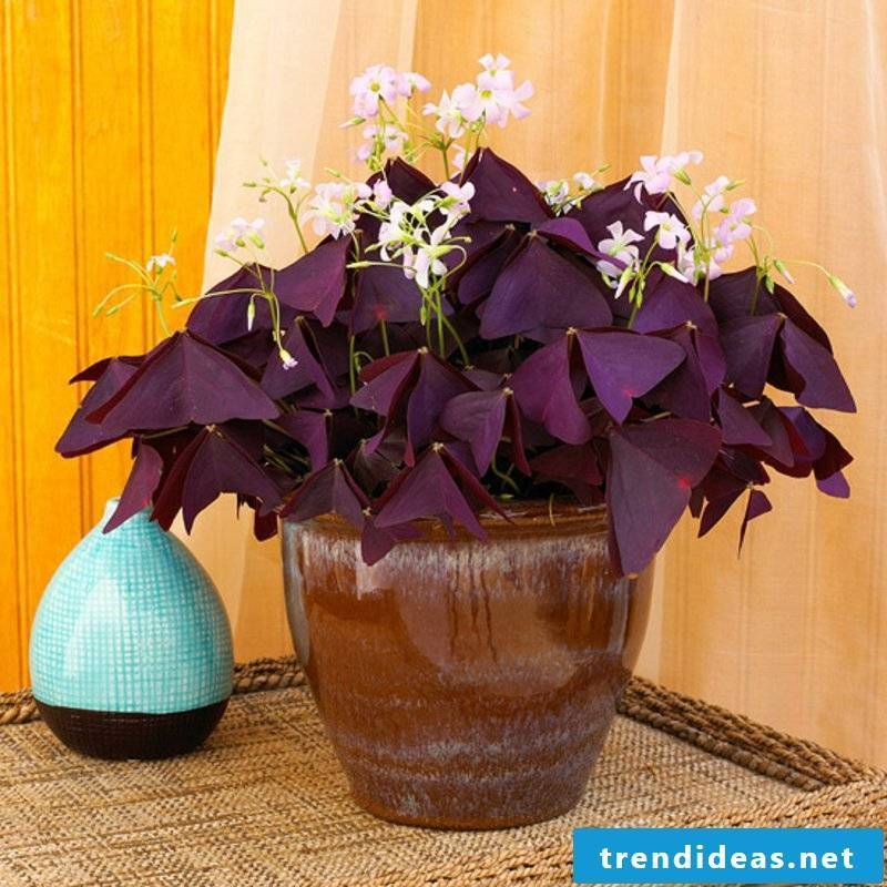 House plants sorrel