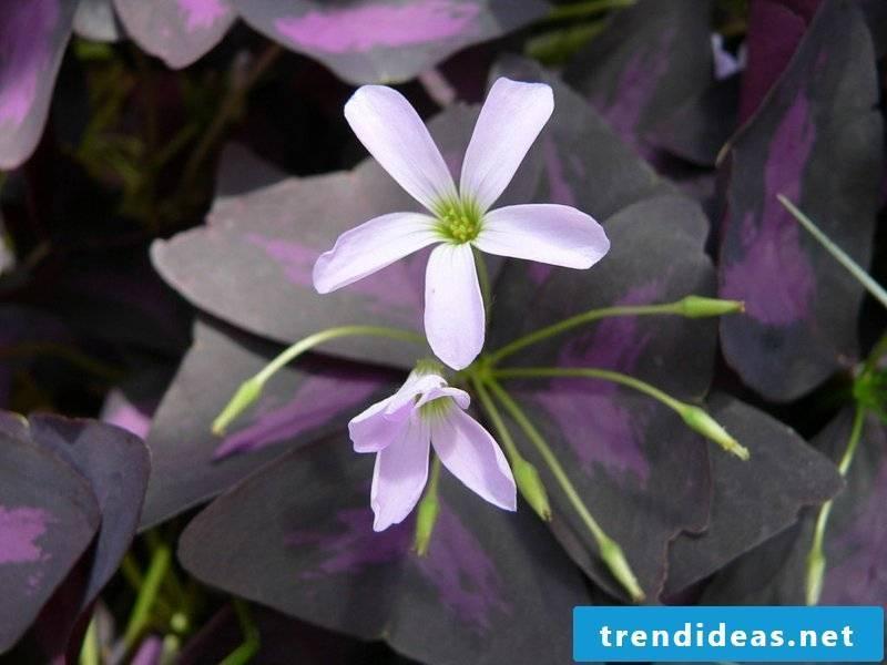 Sorrel flowering houseplants