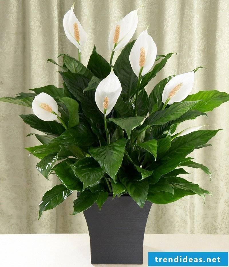 flowering houseplants lily