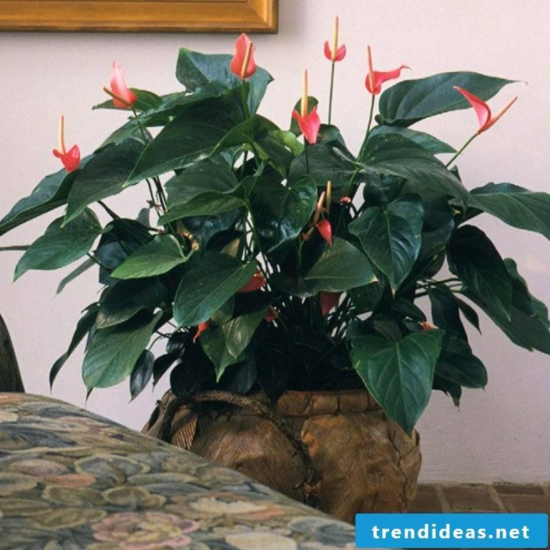 flowering houseplants Anthurium