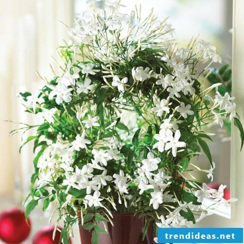 flowering houseplants jasmine