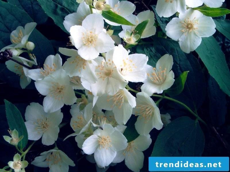 Jasmine flowering houseplants