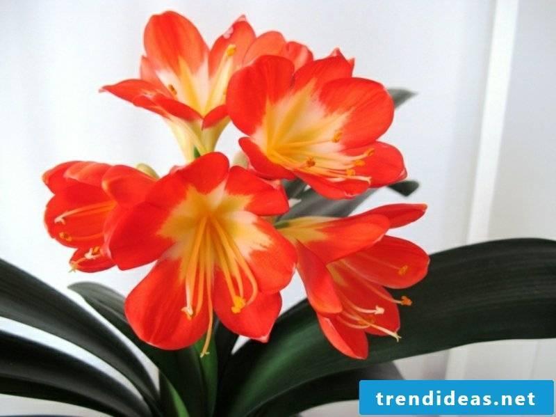 clivia houseplants