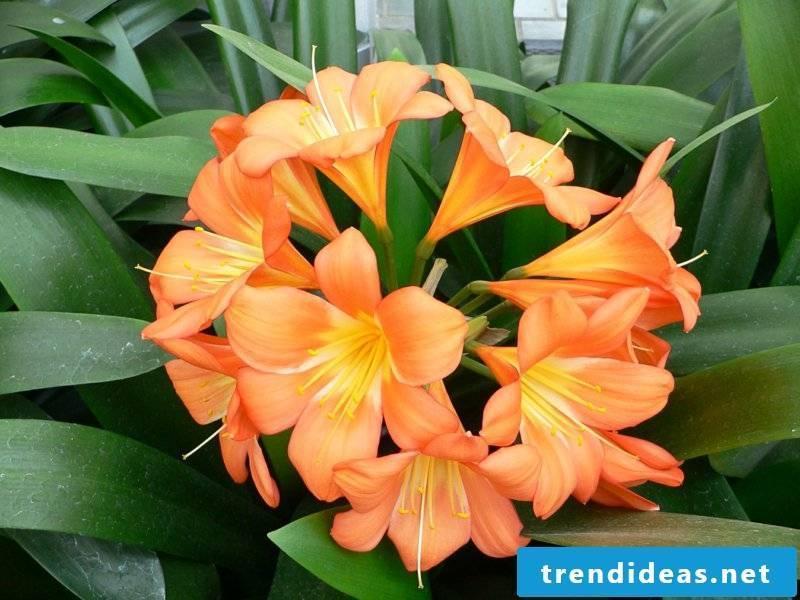 flowering houseplants Clivia miniata