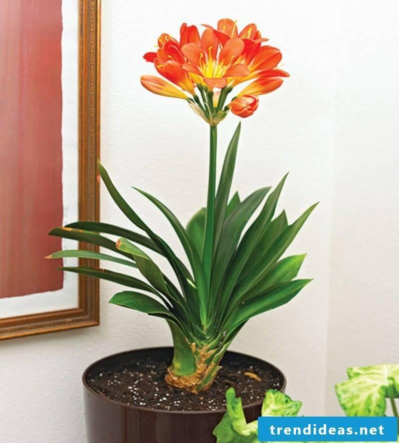 Clivia flowering houseplants