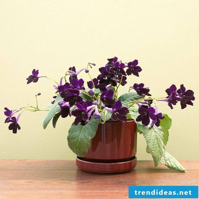 flowering houseplants streptocarpus