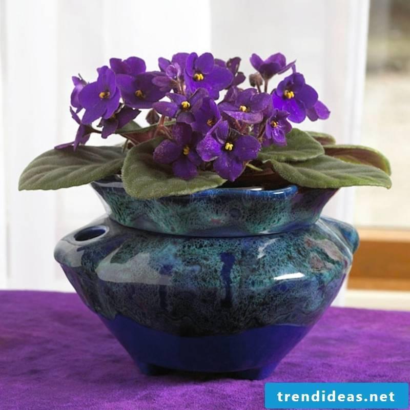 Indoor plants African violets