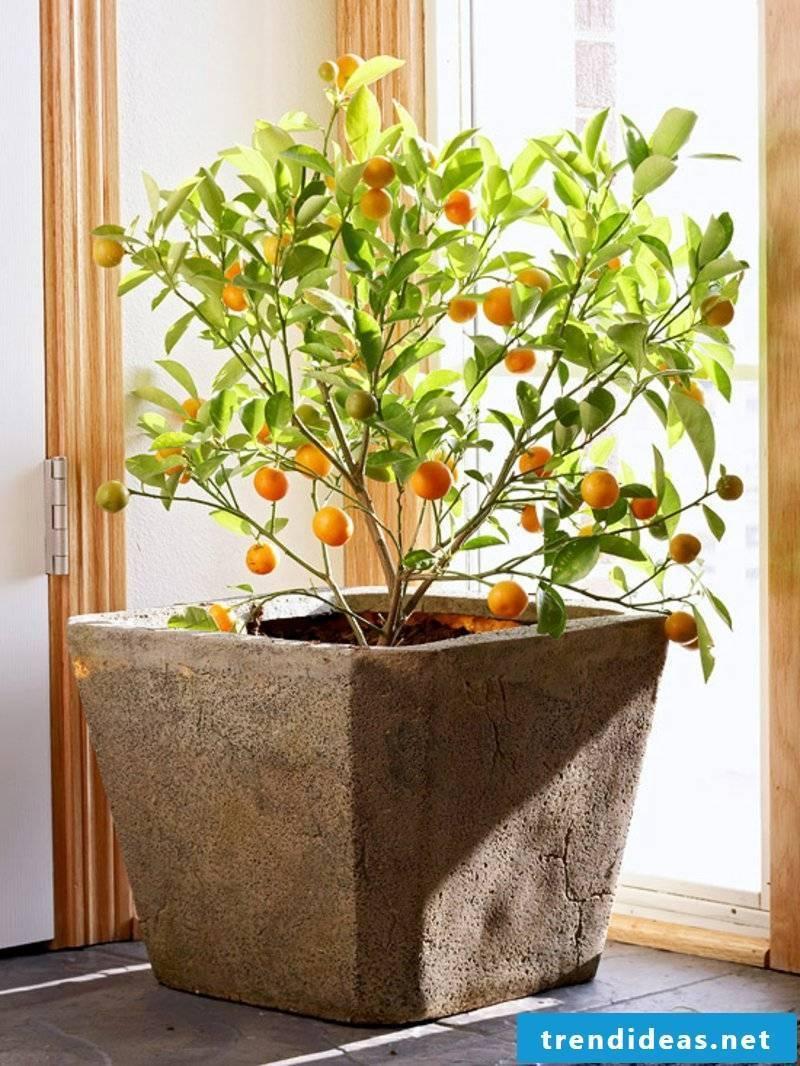 decorative orange tree houseplants