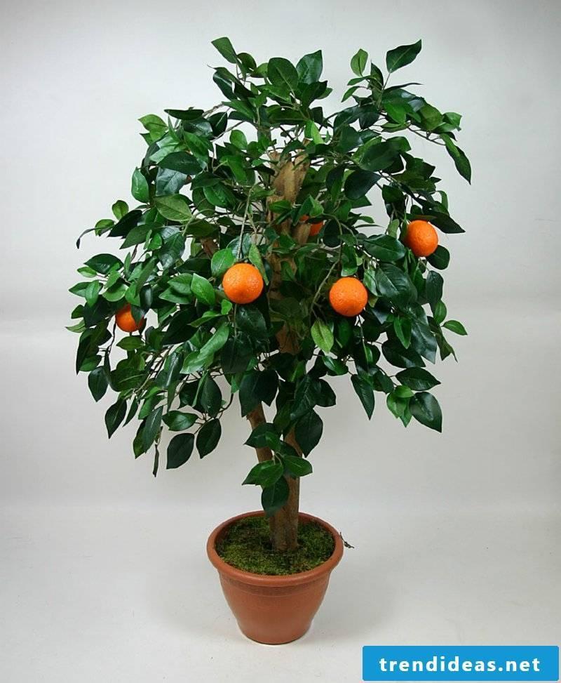 decorative orange tree flowering houseplants