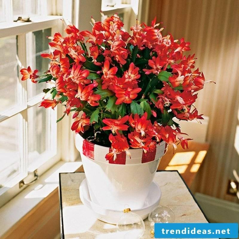 Houseplants Christmas cactus