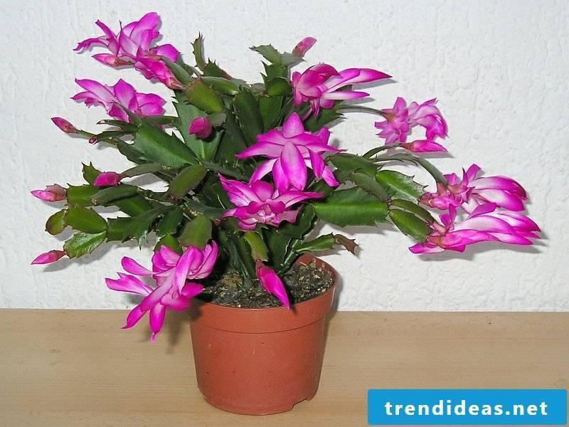 Christmas cactus flowering houseplants