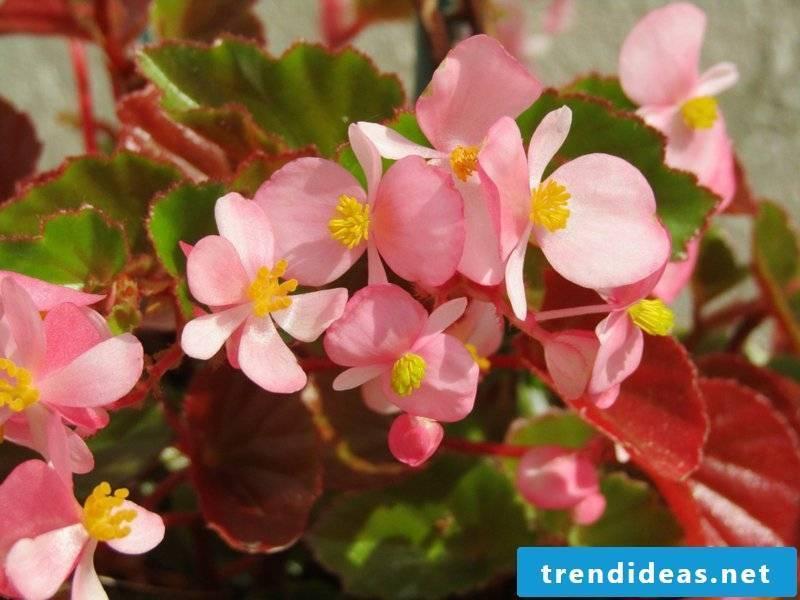 flowering houseplants begonia