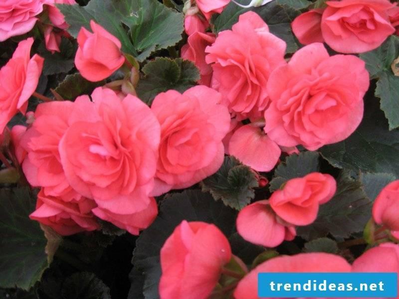 Indoor plants roza begonia