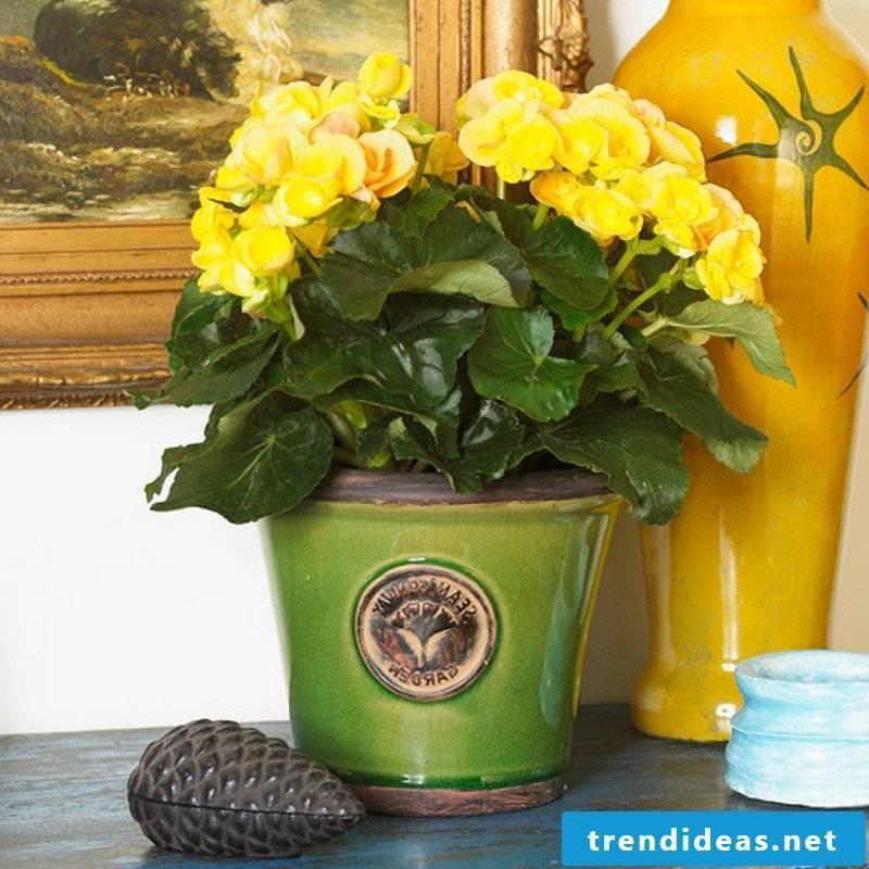 Houseplants yellow begonia