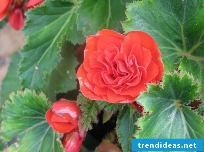 Begonia in red