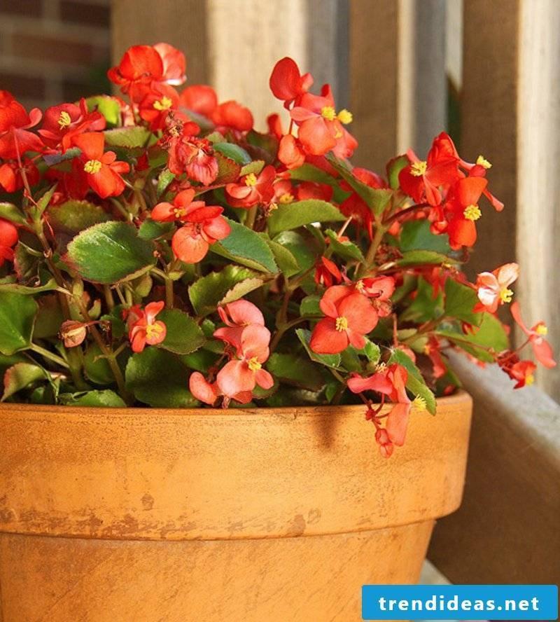 Begonia flowering houseplants