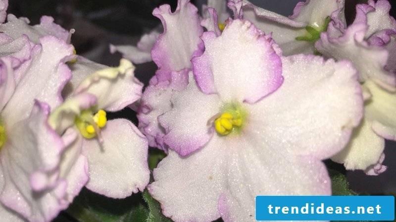 African violet flowering houseplants
