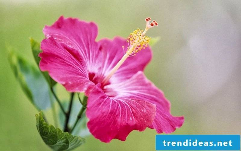 Hibiscus with roza blossomed