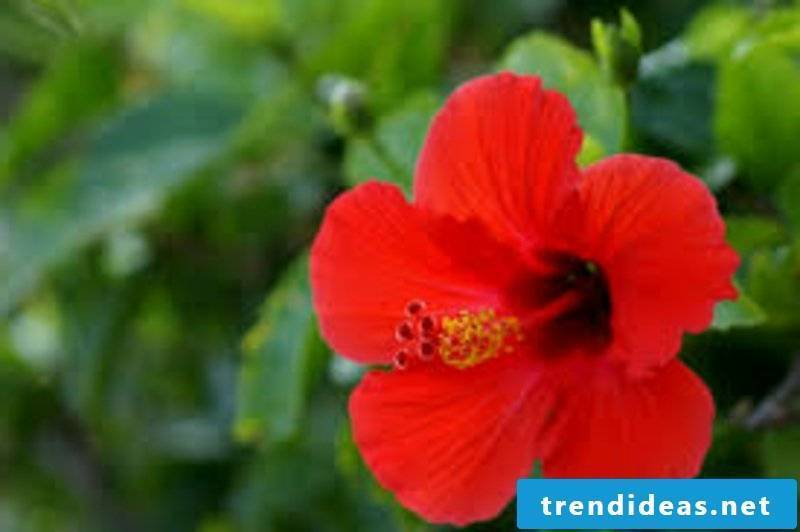Hibiscus with red flowers