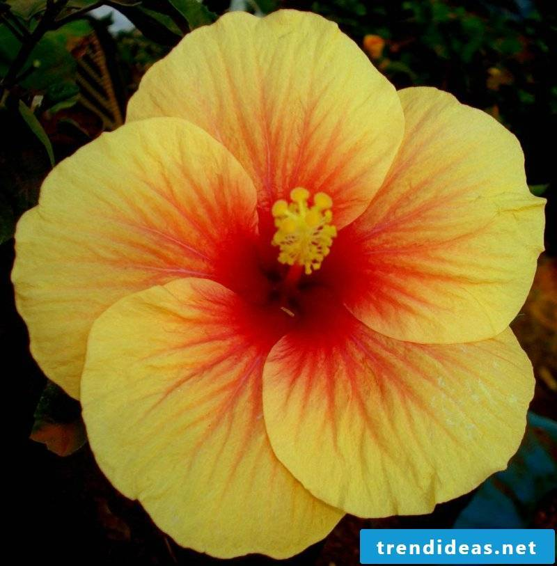 Hibiscus with yellow flowers