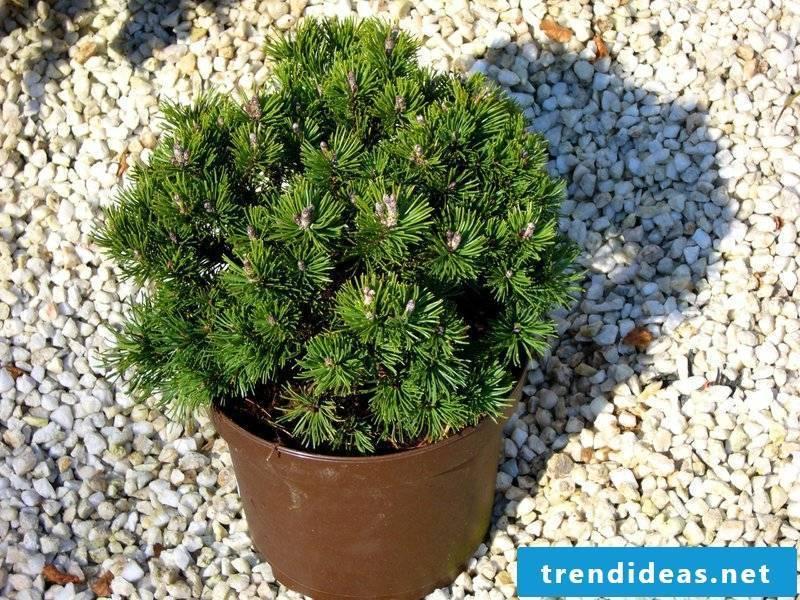hardy decorative plant species