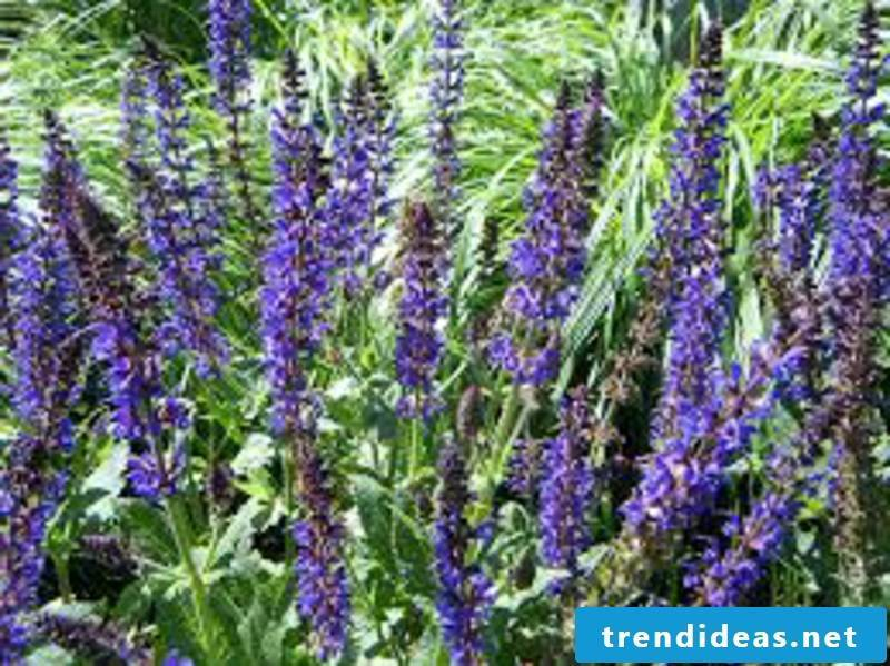 the flowers of sage hardy houseplants