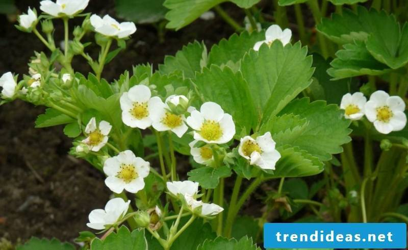 Strawberry with white flowers