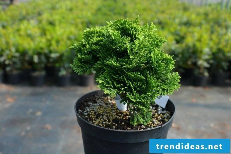 dwarf conifer