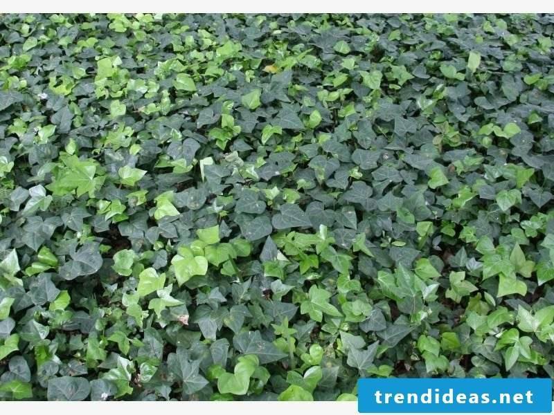 Ivy as a ground cover garden creative design ideas
