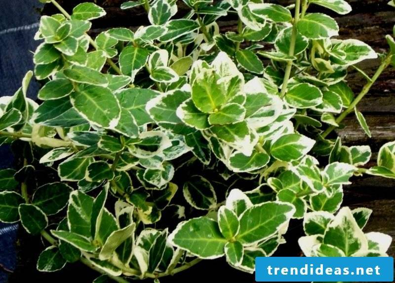 evergreen groundcover Euonymus fortunei