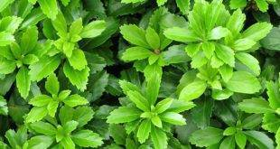 5 inspiring examples of evergreen groundcover