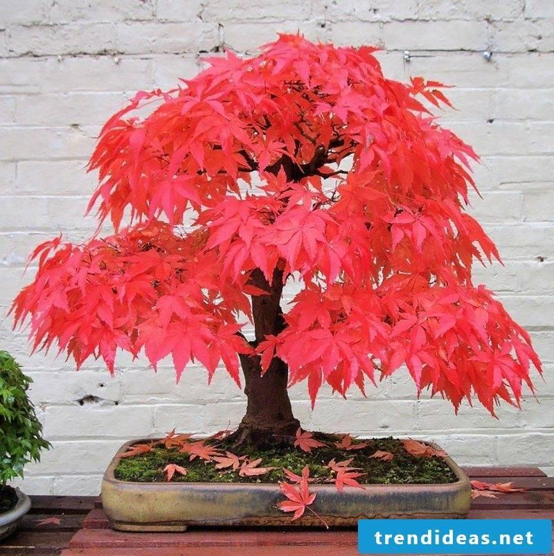Bonsai species maple