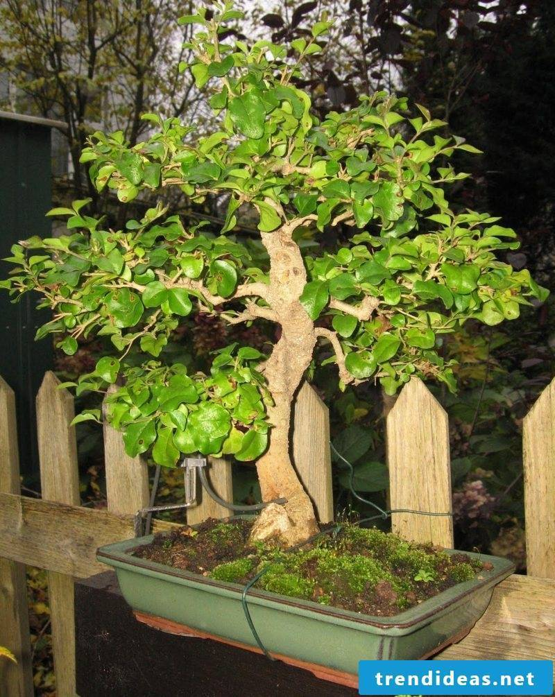 Bonsai species Chinese Linguster