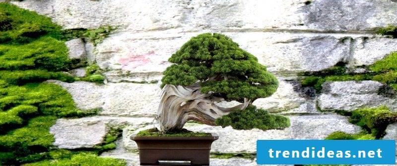 Bonsai species desing