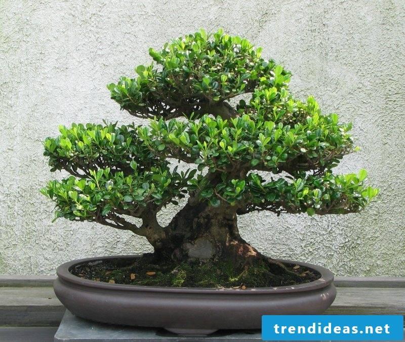 Bonsai species Eurya