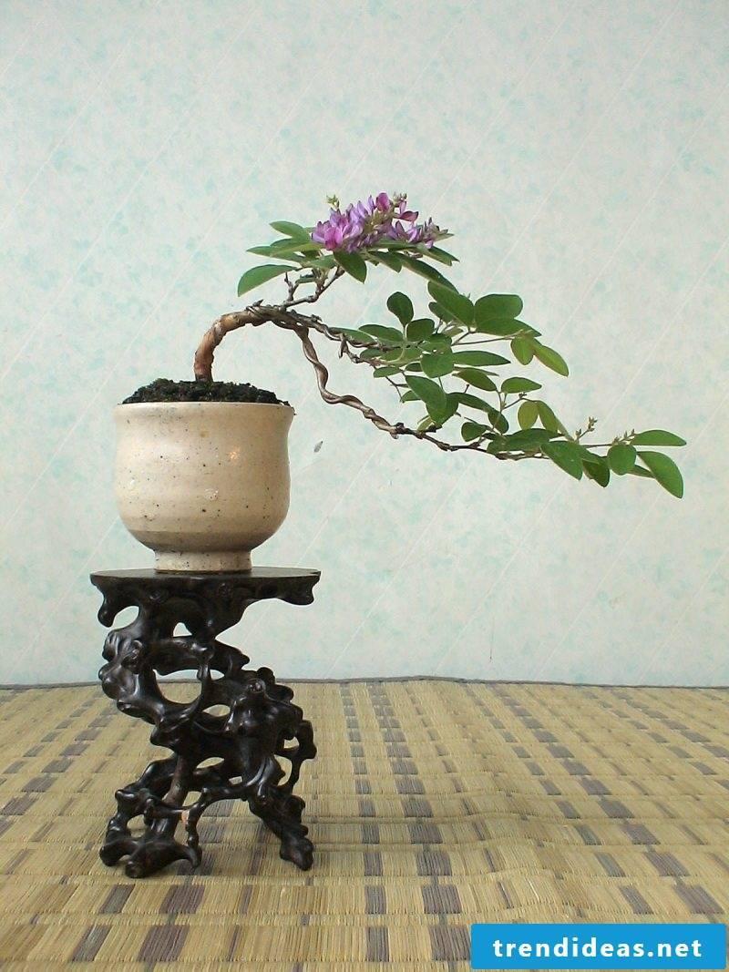 Bonsai species Hokidachi