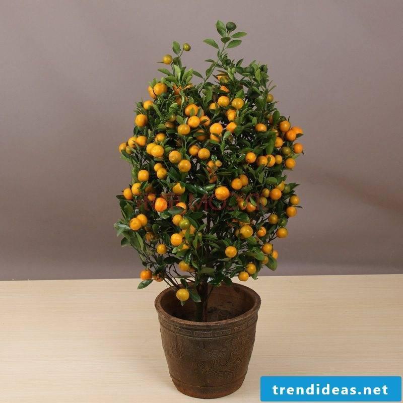 Bonsai species Orange