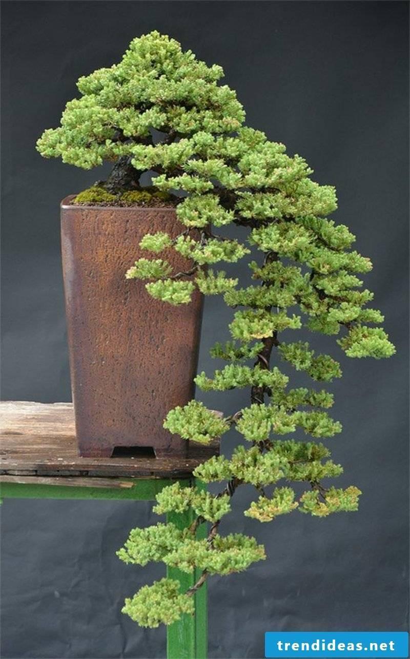 Bonsai species care