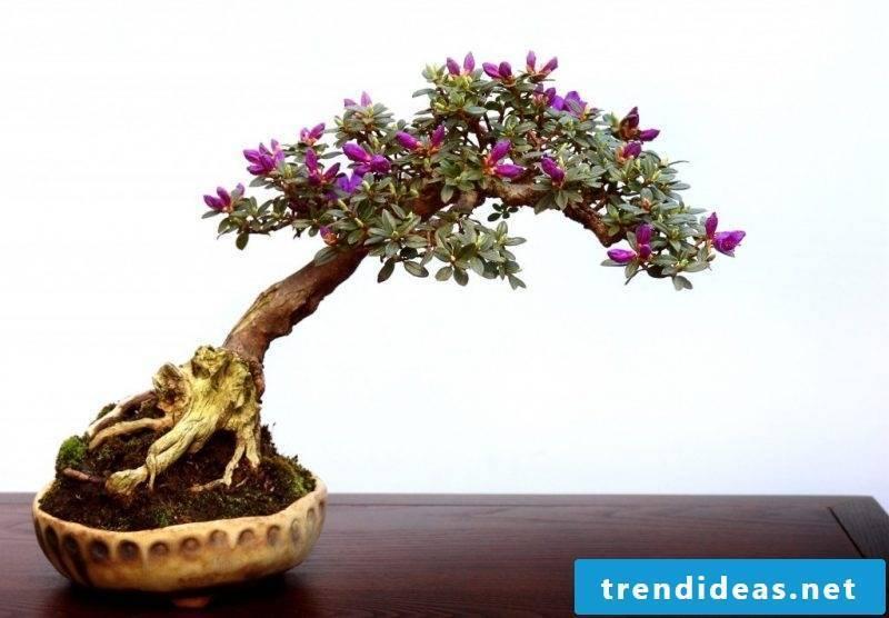 Bonsai species Rhododendron