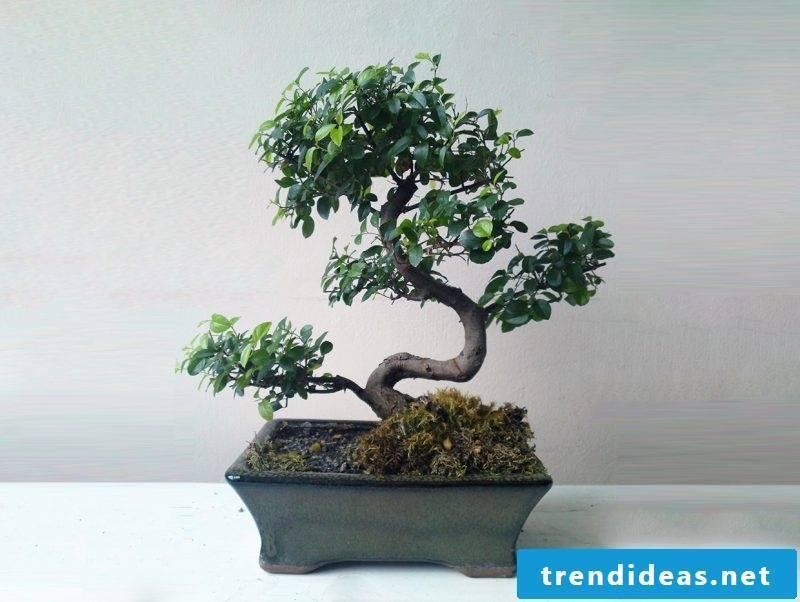 Bonsai species Sageteria