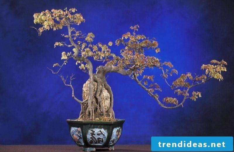 Bonsai species plants