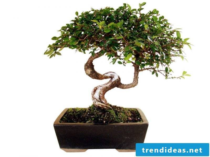 Bonsai species Chinese elm