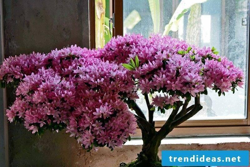 Bonsai species Azalea