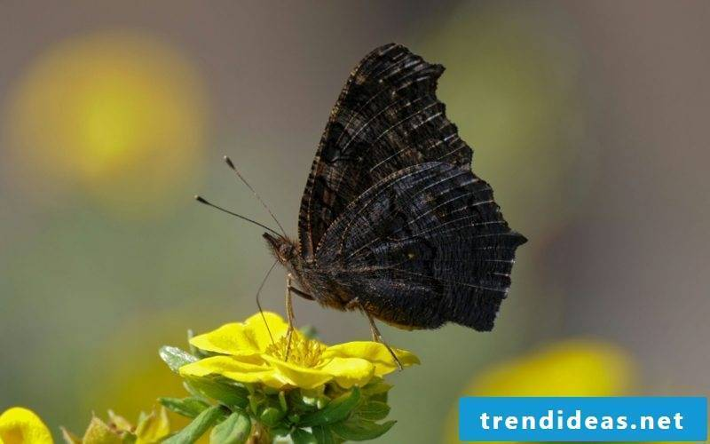 Butterfly meaning black