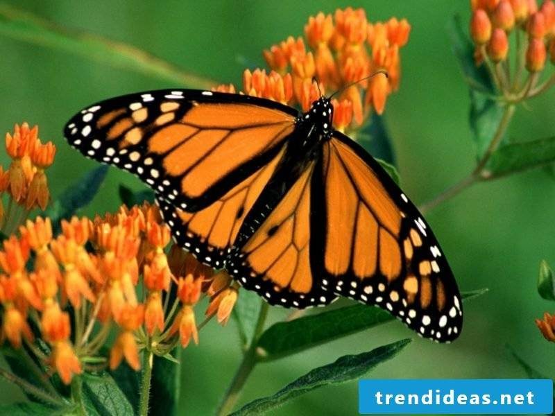 Butterfly meaning monarch