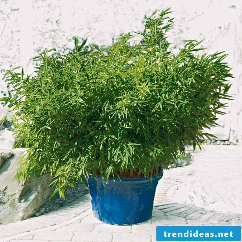 bamboo in tub small