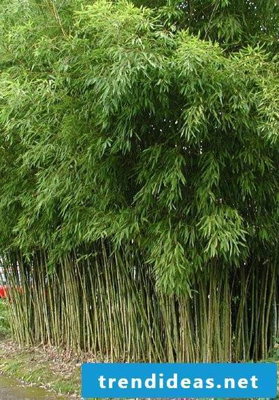 bamboo in the bucket green