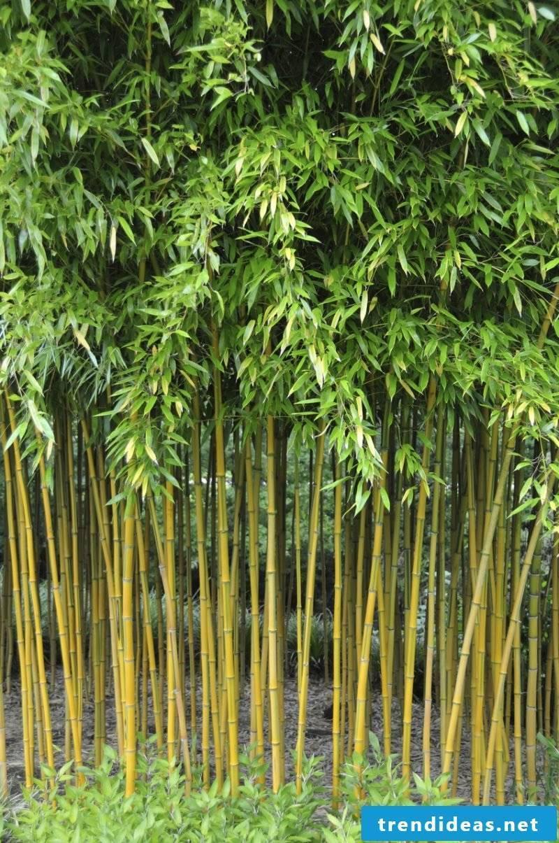 bamboo in bucket high