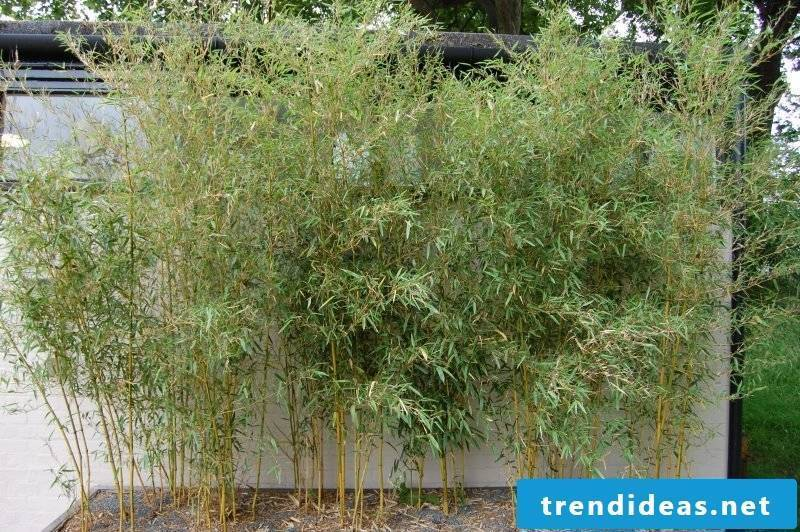 bamboo in bucket prices